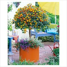 Lantana in container underplanted with Calibrachoa, Lobelia and Helichrysum