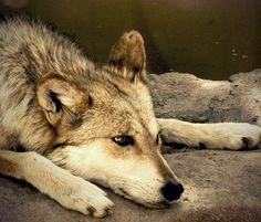 the mexican wolf