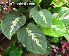 Calathea louisae 'Maui Queen'