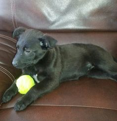 Our dogs are all being fostered. Please contact the relevant foster family for more information on the dog listed. Thank you.Bear is 13 weeks old. She is very smart and lovable puppy. She is in Memphis,  MI with her brother and foster mom. If you...