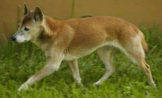New Guinea Singing Dog https://www.ranker.com/list/rare-dogs-and-cats/josephwelkie?ref=collections_btm
