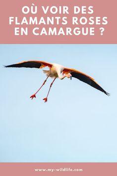 Le flamant rose est l'emblème de la Camargue. C'est d'ailleurs, le seul territoire où il niche en France. Mais où voir des des flamants roses en Camargue ? Réponse dans l'article du blog :-)  #flamant #flamantrose #flamingo #greaterflamingo #camargue #france Camargue France, Safari Photo, Provence France, Parcs, Wildlife, Around The Worlds, Europe, Blog, Animals