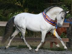 Show Horse Gallery - Marciano de Galileo, Andalusian