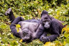 Congo: How Deep Do We Go?   By Miha Logar with pictures from Marcus Westberg   The headquarters of Kahuzi-Biega National Park overlooks a valley sprinkled with white buildings, as if in m…