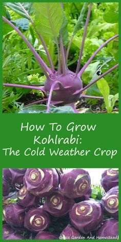 If you live in a cold climate with a short growing season, then you need to get to know kohlrabi. The bulbous part of stem above ground and the leaves are all edible and delicious.