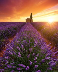 Lavender Field, Provence - France ✨✨ Picture by ✨✨@beboy_photography✨✨