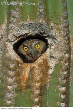 Elf Owl (Micrathene whitneyi) perched in a Saguaro Cactus nest cavity in Sabino Canyon . Arizona Birds, Tucson Arizona, Elf Owl, Owl Pictures, Owl Pics, Owl Art, Cute Owl, Birds Of Prey, Spirit Animal