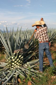 Watching a jimador select agaves for Tequila