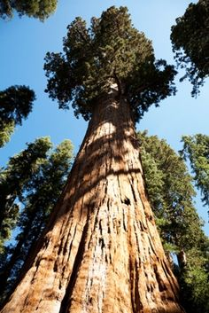 October 1, 2015. Big Trees First to Die in Severe Droughts. Large trees like sequoias and redwoods suffer most when its dry. At: http://www.scientificamerican.com/article/big-trees-first-to-die-in-severe-droughts/