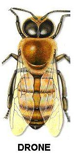 Drone bee    http://brandondonnalee.org/category/blankenship-farms/