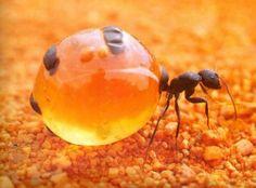 お腹パンパンに蜜を溜め込むオーストラリアの蟻「ミツツボアリ」、しかもうまいらしい : カラパイア