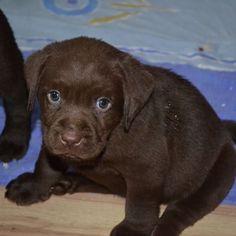Encantador Preciosa Mascota. Ya sabéis a todos seguidme y etiquetarme en la fotografía que queráis y todo los días el que mas me gusta tenga será elegido LA MASCOTA DEL DIA. Precious pet. You know to follow me and label me all the photography that wish and every day that I like has to be elected MASCOT DAY. @labrador.muffin Sein Unschuldsblick  #instadog #perro #puppy #puppylove #puppyofinstagram #dog #dogs #dogofinstagram #hund #hunde #love #labbi #loveit #labrador #baby #babydog #bestdog…