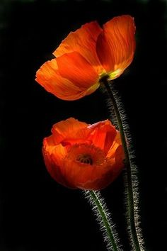 poppy love~