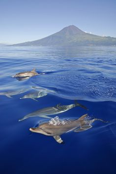 #dolphins near Mount Pico, #Azores, #Portugal - ©Espaço Talassa  Travel to Azores Islands in Portugal to enjoy azores beautiful nature.  --  Have a look at http://www.travelerguides.net