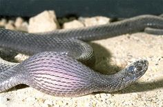 An African egg-eating snake swallows a bird's egg several times larger than its head.