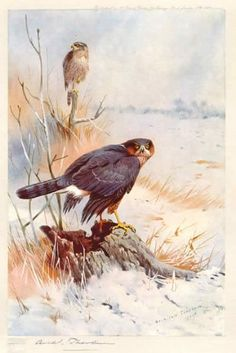archibald thorburn sparrowhawk paintings