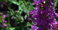 Honey Bee and Pollen Sac