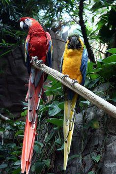 Guacamayo macao (Ara macao), Centro-Suramérica, gran tamaño, colorido plumaje, muy social