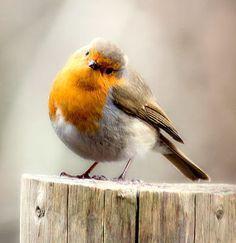 🌟Tante S!fr@ loves this📌🌟Roodborstje Kinds Of Birds, All Birds, Cute Birds, Pretty Birds, Little Birds, Beautiful Birds, Animals Beautiful, Cute Animals, Robin Bird