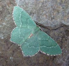 Luna moth, Common Emerald.