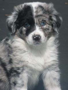 Australian Shepherd Blue Merle is part of Aussie puppies - Blue Merle Australian Shepherd Pups Australian Shepherd Puppies, Aussie Puppies, Cute Puppies, Cute Dogs, Dogs And Puppies, Australian Shepherds, Blue Merle Australian Shepherd, Doggies, Teacup Puppies