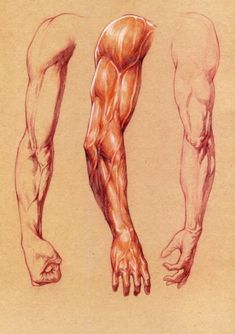 arm by ohchoongho Arm Anatomy, Human Anatomy Drawing, Human Figure Drawing, Anatomy Poses, Body Anatomy, Human Anatomy For Artists, Body Reference Drawing, Body Drawing, Anatomy Reference