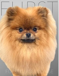 Luxury Spa, Pomeranian, Dog Grooming, Photo Galleries, Lounge, Gallery, Dogs, Animals, Airport Lounge