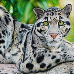 """Clouded Leopard"" - Samuel Silva, ballpoint pens {contemporary realism artist #hyperreal feline drawing} vianaarts.deviantart.com"