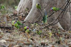 Plum-headed Parakeets | Bandhavgarh National Park, India