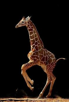 Baby giraffe on the move