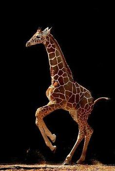 Baby giraffe on the move