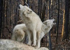 wolves singing