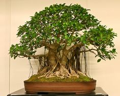 Laurel De La India Bonsái Ficus Microcarpa Retusa Chinese Banyan
