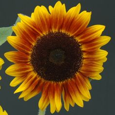 Grow beautiful golden yellow sunflowers perfect for cut flower production with Helios Flame Sunflower Seeds from Harris Seeds.  Order today!