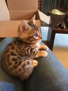 Dumpling kitten