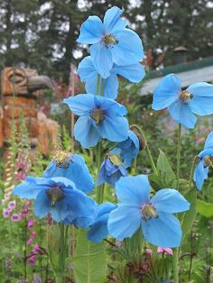 My favorite flower of all time - Himalayan Blue Poppies.  I so wish they would grow where I live...