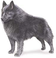 Schipperke Photo:  This Photo was uploaded by ValStarr10.