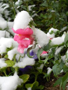 Snap Dragon Snow