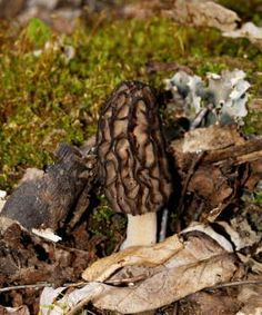 Morel Mushrooms ~ Gaylord MI