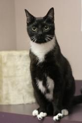 Chipie is an adoptable Domestic Short Hair-Black And White Cat in Harrisburg, PA. Chipie is about 1 1/2 years old. He is very outgoing and friendly. He loves to play and investigate everything. He enj...