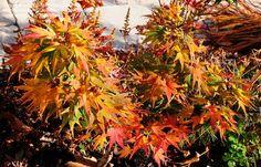 mikawa yatsubusa japanese maple | ... size picture of Japanese Maple 'Mikawa yatsubusa' ( Acer palmatum