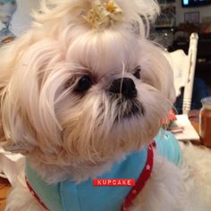 17 Best Our Shih Tzu - Gucci! images  0946b33a381