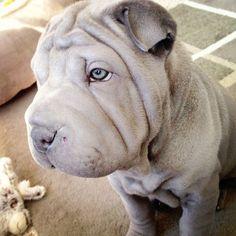 blue shar pei puppy