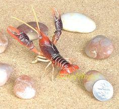Crustaceans - Crustacea  |Phylum Arthropoda Marine