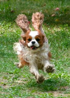 Wanted: King Charles Cavalier Cavalier King Charles Dog, King Charles Spaniel, I Love Dogs, Cute Dogs, Spaniel Dog, Cute Animal Pictures, Beautiful Dogs, Cute Baby Animals, Dog Breeds