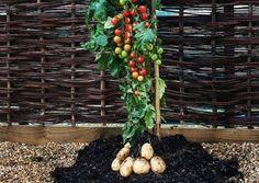 Je eigen frietjes en ketchup groeiend aan één plant, tegelijkertijd. Kan dat?