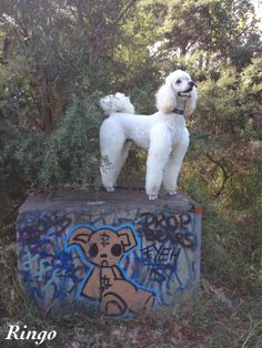 Ringo: Looking for drop bears, to the right.....
