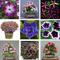 200PCS New Zealand featuring nine different colors styles Petunia flowers seeds potted bonsai garden courtyard balcony #clothing,#shoes,#jewelry,#women,#men,#hats,#watches,#belts,#fashion,#style