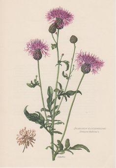 1954 Centaurea scabiosa Antique Botanical Print by Craftissimo, €12.95