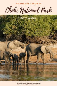 """Chobe National Park is one of the best places in Africa to go on safari! It has one of the greatest year-round concentrations of wildlife in all of Africa. The only one of the """"Big Five"""" (lion, leopard, elephant, buffalo and rhino) hard to spot is the rare rhinoceros. #ChobeNationalPark #Chobe #Botswana #safari"""